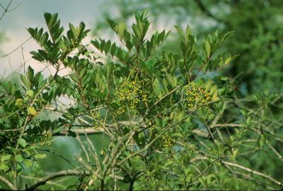 Toxicodendron vernix (Poison-sumac), habit, fall, infructescence