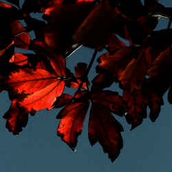 Paper-barked maple (Acer griseum) leaves
