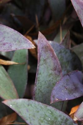 Tradescantia pallida 'Purpurea' (Purple Heart), leaf, summer