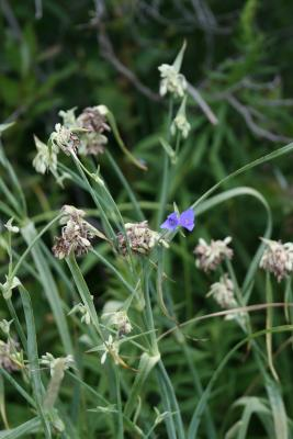 Tradescantia ohiensis (Common Spiderwort), inflorescence