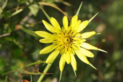 Tragopogon dubius (Yellow Salsify), flower, throat, inflorescence