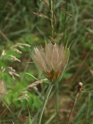 Tragopogon pratensis (Meadow Salsify), infructescence