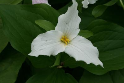 Trillium grandiflorum (Great White Trillium), flower, throat
