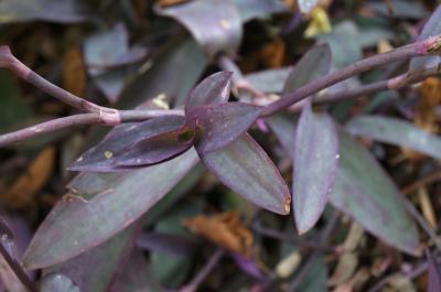 Tradescantia pallida 'Purpurea' (Purple Heart), habit, summer