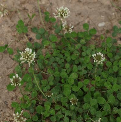 Trifolium repens (White Clover), inflorescence