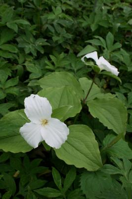 Trillium grandiflorum (Great White Trillium), habit, spring