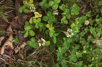 Trifolium repens (White Clover), habit, spring