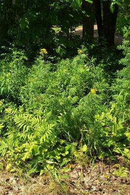 Tanacetum vulgare (Tansy), habit, summer