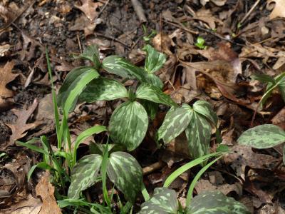 Trillium recurvatum (Red Trillium), habit, spring