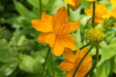 Trollius chinensis 'Golden Queen' (Golden Queen Chinese Globeflower), flower, full