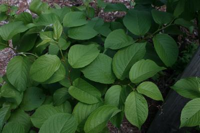 Tripterygium regelii (Threewing-nut), leaf, summer