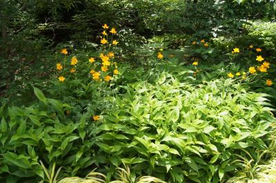 Trollius chinensis 'Golden Queen' (Golden Queen Chinese Globeflower), habit, summer