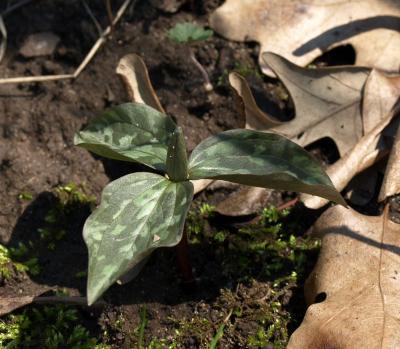 Trillium recurvatum (Red Trillium), bud, flower, habit, spring