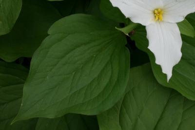 Trillium grandiflorum (Great White Trillium), leaf, upper surface