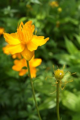 Trollius chinensis 'Golden Queen' (Golden Queen Chinese Globeflower), fruit, immature, flower, full