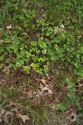 Trifolium repens (White Clover), habitat