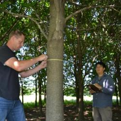 "Jason ""Jake"" Miesbauer measuring a tree trunk at The Morton Arboretum"