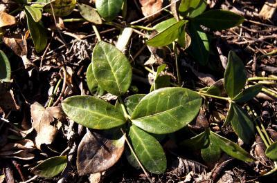 Vinca minor 'Alba' (White-flowered Common Periwinkle), leaf, winter