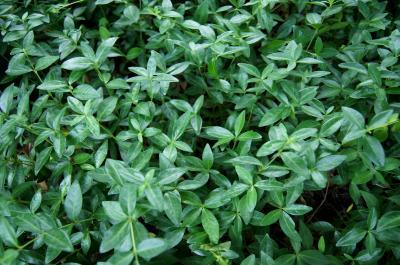 Vinca minor 'Alba' (White-flowered Common Periwinkle), habit, summer