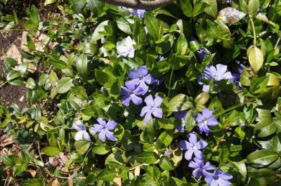 Vinca minor (Common Periwinkle), habit, spring