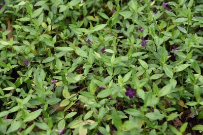 Vinca minor 'Atropurpurea' (Purple-flowered Common Periwinkle), habit, summer
