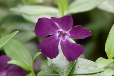 Vinca minor 'Atropurpurea' (Purple-flowered Common Periwinkle), flower, throat