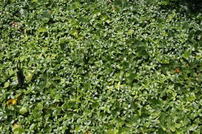 Vinca minor 'Bowles' (Bowles Common Periwinkle), habit, summer