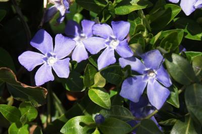 Vinca minor (Common Periwinkle), flower, full