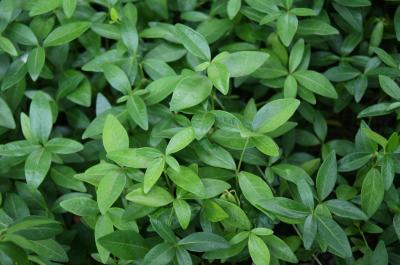 Vinca minor 'Atropurpurea' (Purple-flowered Common Periwinkle), leaf, summer