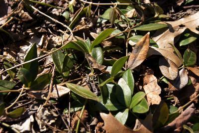 Vinca minor 'Alba' (White-flowered Common Periwinkle), habit, spring