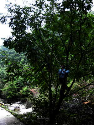 Kris Bachtell collecting Manchurian ash (Fraxinus manshurica) specimens in China