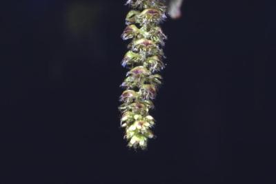 Ostrya virginiana (ironwood), male catkin