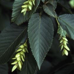 Ostrya virginiana (ironwood), leaves and fruit