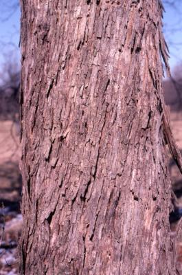 Ostrya virginiana (ironwood), bark