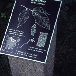 Ostrya virginiana (ironwood) interpretation sign