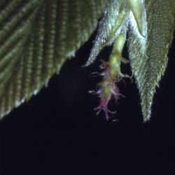 Ostrya virginiana (ironwood), female catkin