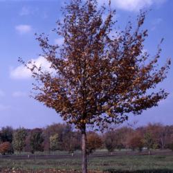 Ostrya virginiana (ironwood)