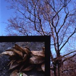 Ostrya virginiana (ironwood), fruit detail and tree