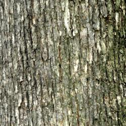 Ostrya virginiana (ironwood), bark