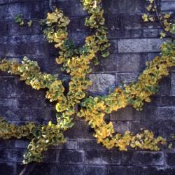 Ginkgo biloba (ginkgo), espalier with fall color