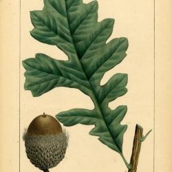 Over cup white oak, Quercus macrocarpa