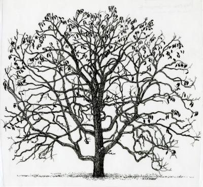 Tree of the month: Kentucky coffee tree, Gymnocladus dioicus