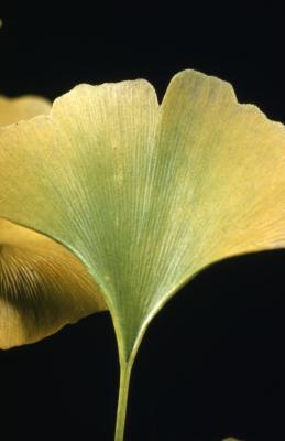 Ginkgo biloba (ginkgo), leaf detail