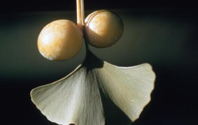 Ginkgo biloba (ginkgo), fruit and leaves detail