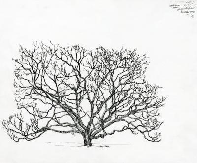 Tree of the month No. 13: Amur cork tree, Phellodendron amurense