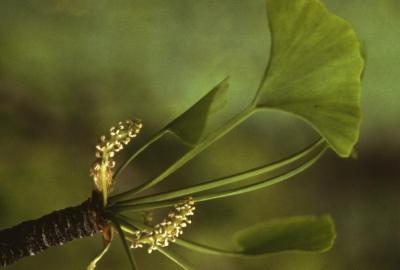 Ginkgo biloba (ginkgo), flower and leaf
