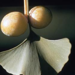 Ginkgo biloba (ginkgo), fruit and leaves detail
