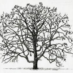 Tree of the month: Kentucky coffee tree, Gymnocladus dioicus