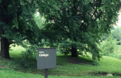Ginkgo biloba (ginkgo), Ginkgo Collection sign at The Morton Arboretum