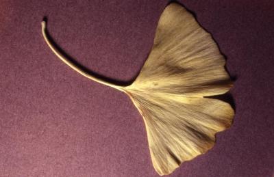 Ginkgo biloba (ginkgo), leaf